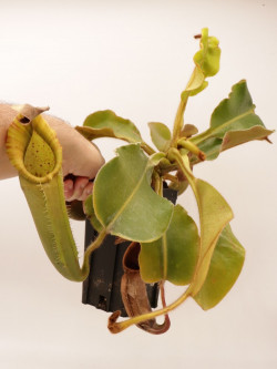 Nepenthes chaniana x veitchii  XL size