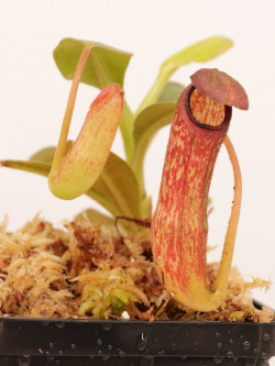 Nepenthes klossii BE-4014 clone 211