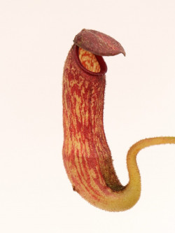 Nepenthes klossii BE-4014 clone 227