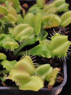 Dionaea muscipula 'Angel wings'