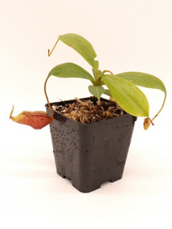 Nepenthes mira BE-3979