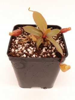 Nepenthes palawanensis BE-4013