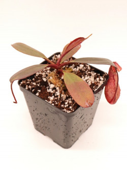 Nepenthes peltata BE-4025