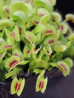 "Dionaea muscipula ""B01"""