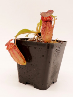 Nepenthes robcantley x tenuis BE-3982