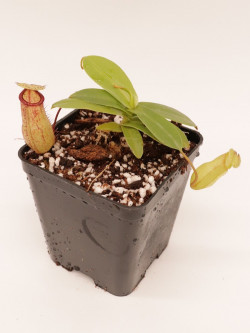 Nepenthes sibuyanensis x hamata BE-3562