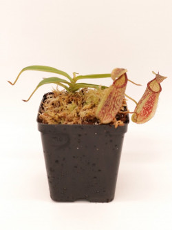Nepenthes spectabilis x hamata BE-3871