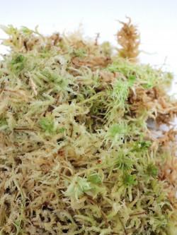 Sfagno vivo - varieta' a fibra grossa
