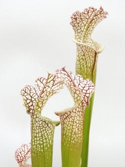 Sarracenia leucophylla L104G MK