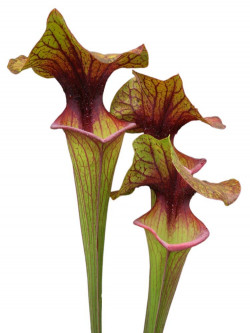Sarracenia flava var. ornata F28 L SRBA