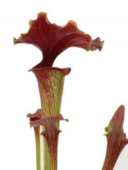 "Sarracenia flava var. atropurpurea "" Kimber red ruffled "" F195 MK"