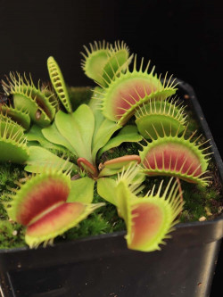 "Dionaea muscipula ""Big Jaws"""