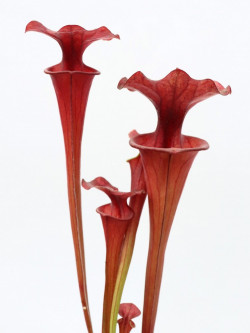 Sarracenia flava var. atropurpurea , New Zealand