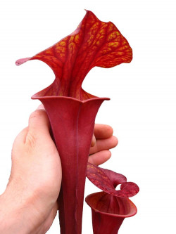 "Sarracenia flava var. atropurpurea ""All red"""