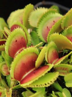 "Dionaea muscipula ""Bristle tooth"""
