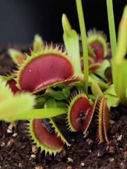 """Dionaea muscipula """"Brutal..."""