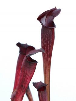 A60 MK Sarracenia alata var. nigropurpurea, black tube