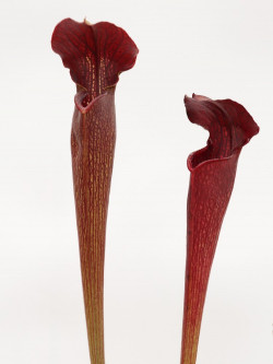A30 MK Sarracenia alata var. nigropurpurea ,red/black , white's crossing, Desoto