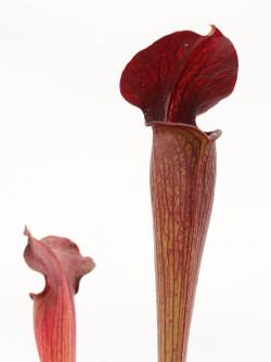 A28 MK Sarracenia alata var. nigropurpurea, black tube, pubescent