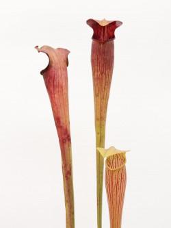 A21 MK Sarracenia alata var. rubrioperculata, Heavy veined, red lid