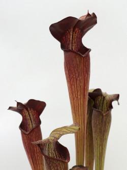 Sarracenia alata var. nigropurpurea, pubescent form C.Klein