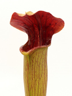 A48 MK Sarracenia alata var. rubrioperculata, Giant red throat