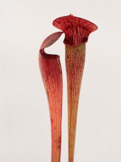 A49 MK Sarracenia alata var. ornata, heavily veined, turning all red