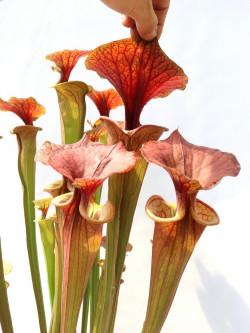 "Sarracenia flava var. atropurpurea ""Giant form"""