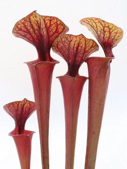 Sarracenia flava var. rubricorpora  ipf46 A.Selwin