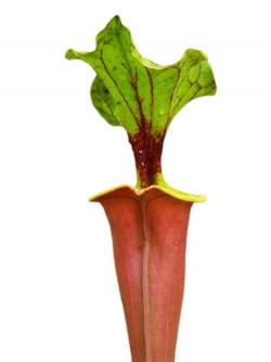Sarracenia flava var. rubricorpora 'Burgundy' F26 MK