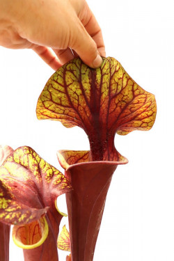 Sarracenia flava var. rubricorpora , purple tube, Milton, Fl  F45 MK