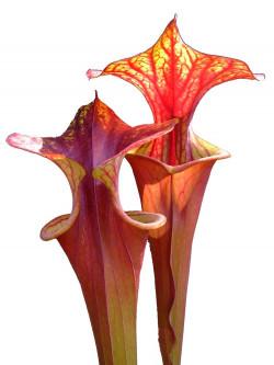 Sarracenia flava var. rubricorpora FL19 RVO