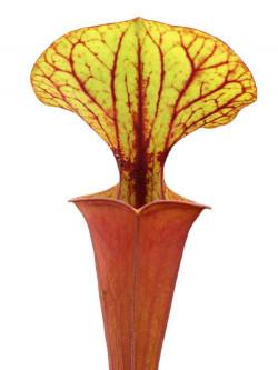 Sarracenia flava var. rubricorpora , giant red tube, Apalachicola F20 MK