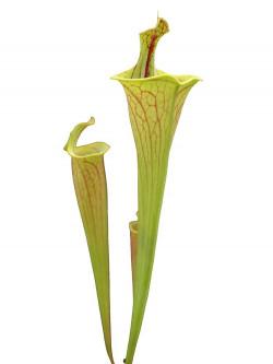 "Sarracenia flava var. ornata ""Lidless""   F221 MK"