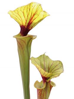 Sarracenia flava var. rubricorpora SFRB15 AC