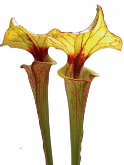 Sarracenia flava var. rubricorpora F118 MK