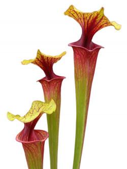 "Sarracenia flava var. rubricorpora FL83 RVL "" Rainbow """