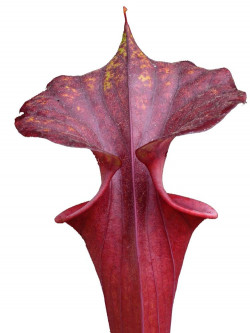 Sarracenia flava var. rubricorpora  F57 MK