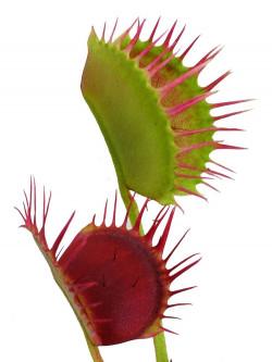 "Dionaea muscipula ""Cropped..."