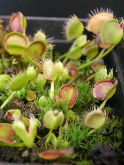 Dionaea muscipula 'Cross...