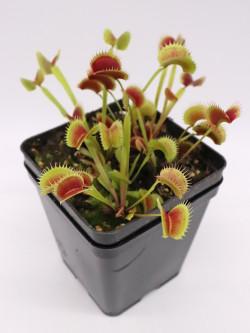 """Dionaea muscipula """" fico d'india """""""