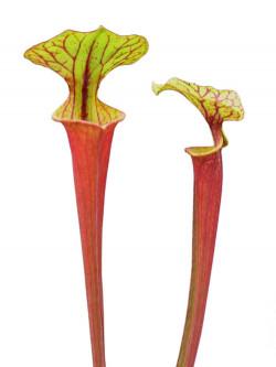 Sarracenia flava var. rubricorpora , Giant red tube , Apalachicola F21 MK