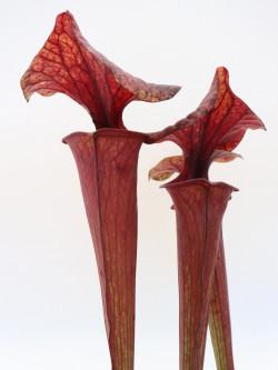 Sarracenia flava var. rubricorpora FL104 RVL