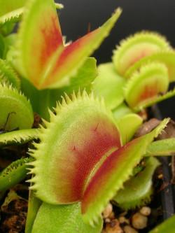 "Dionaea muscipula ""Dentate"" Klein"