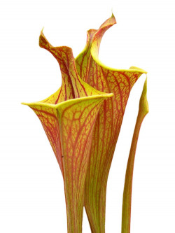 "Sarracenia flava var. rubricorpora ""Lidless"""