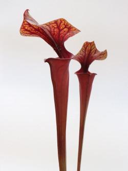 Sarracenia flava var. rubricorpora FL13 RVL