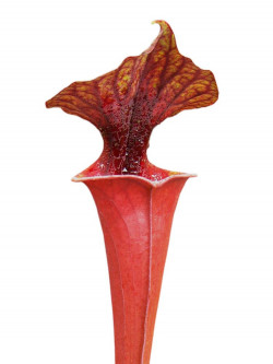 Sarracenai flava var. rubricorpora FL86 RVL
