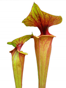 Sarracenia flava var. rubricorpora F105 MK