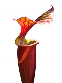 "Sarracenia flava var. rubricorpora "" Rouge"""