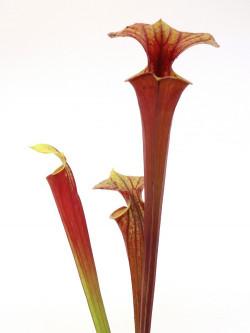 Sarracenia flava var. rubricorpora Giant red tube , Apalachicola F108 MK